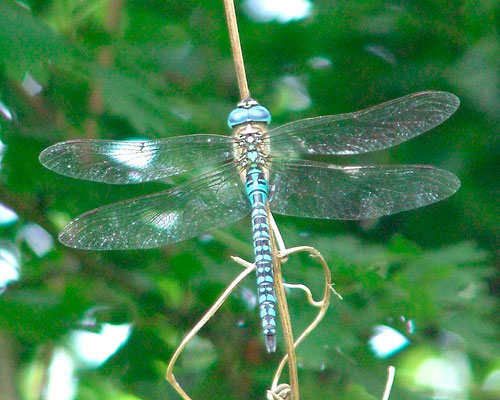 Southern Migrant Hawker (Photograph by Ray Hamblett)