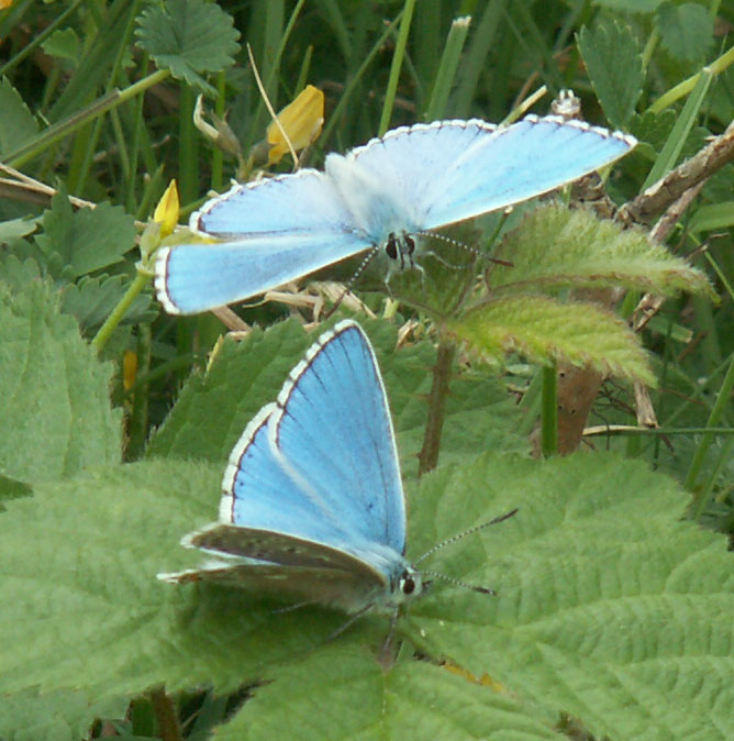 Male Adonis Blues on Mill Hill