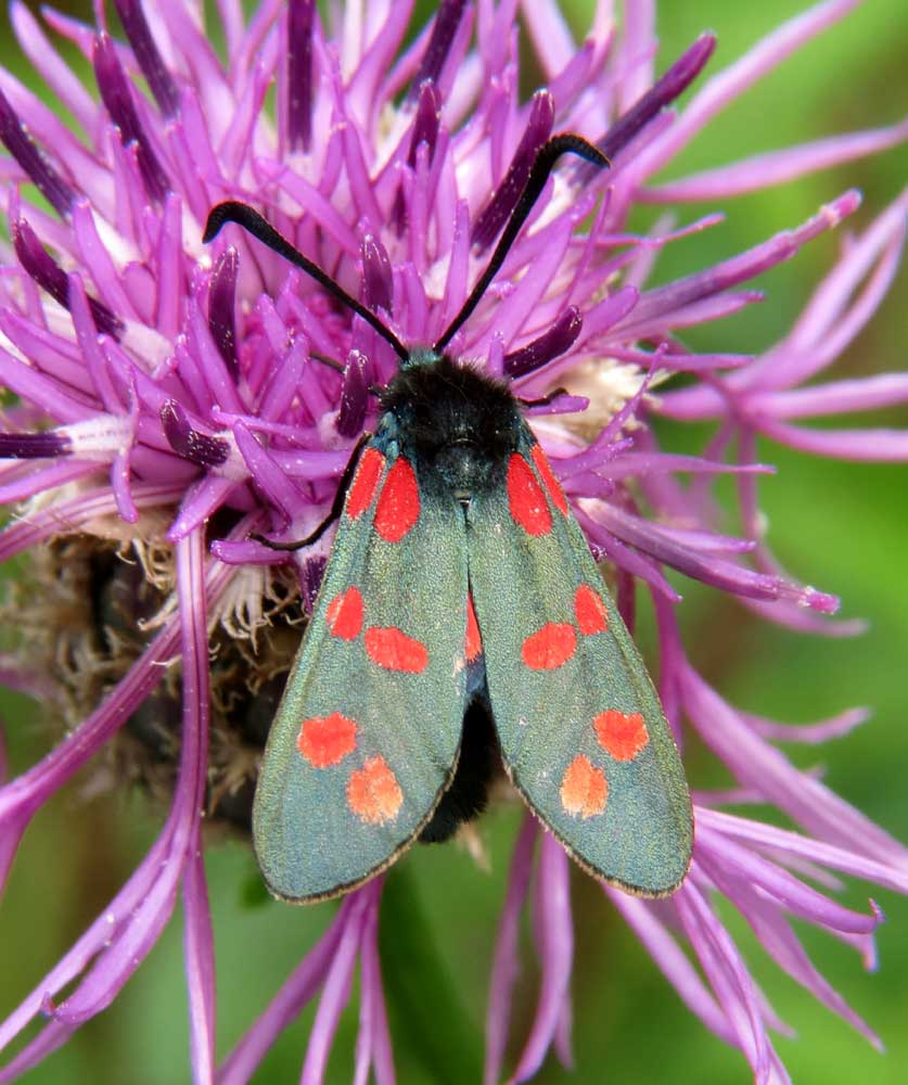 6-spotted Burnet Moth