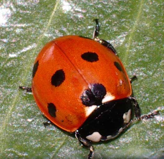 ladybirds - photo #7