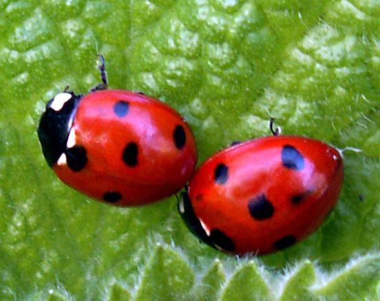 ladybirds - photo #1