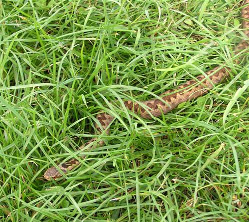 Adder slithering from the long grass (Photograph by Brenda Collins)