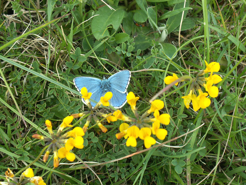 Adonis Blue amongst the vegetation on the Horseshoe Vetch main area of Anchor Bottom
