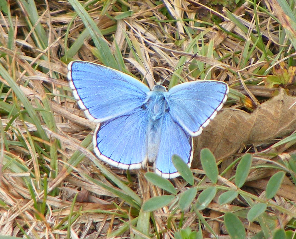 Male Adonis Blue 2nd brood on Mill Hill
