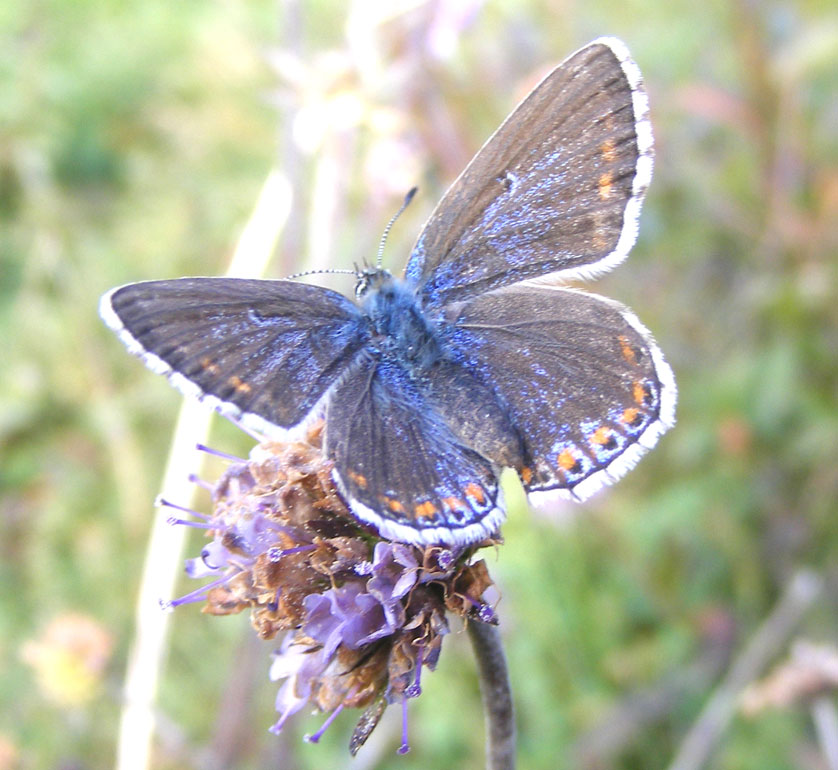 Adonis Blue (female)