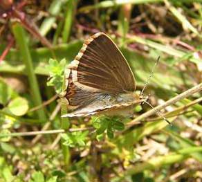 Female Adonis Blue (Photograph by Brenda Collins from Lancing Ring meadows)