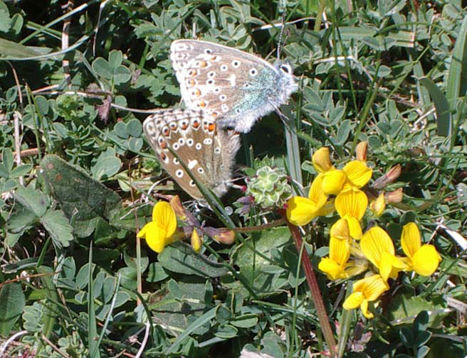 Adonis Blues copulating with Horseshoe Vetch (Photograph by Andy Horton)