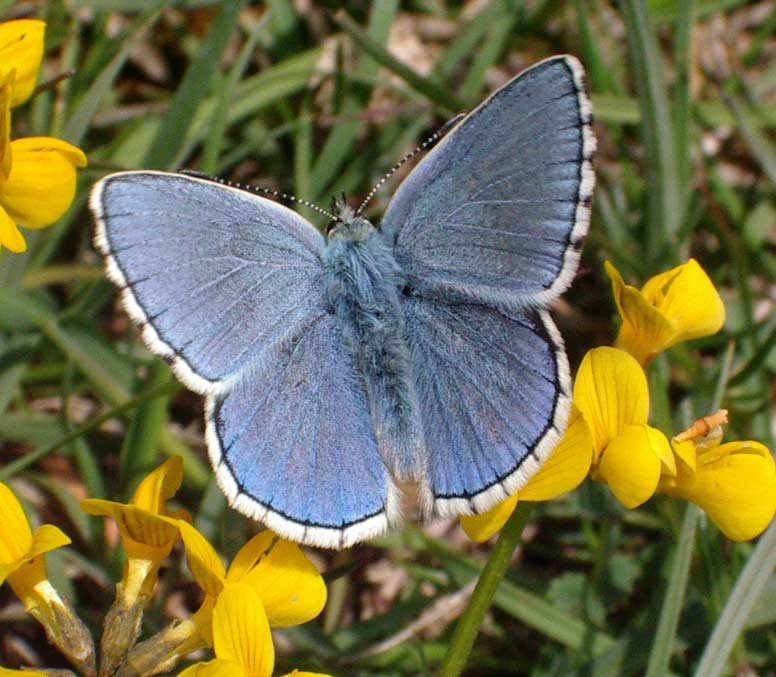 Adonis Blue (Photograph by Andy Horton)