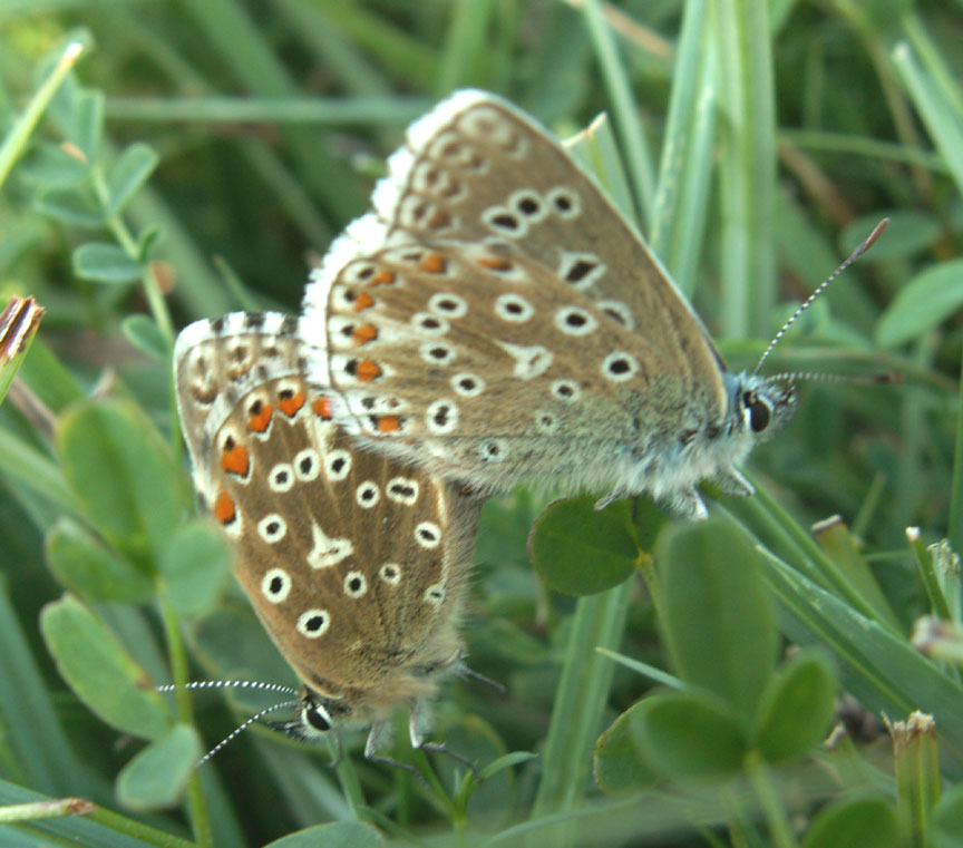 Adonis Blues mating (second brood)