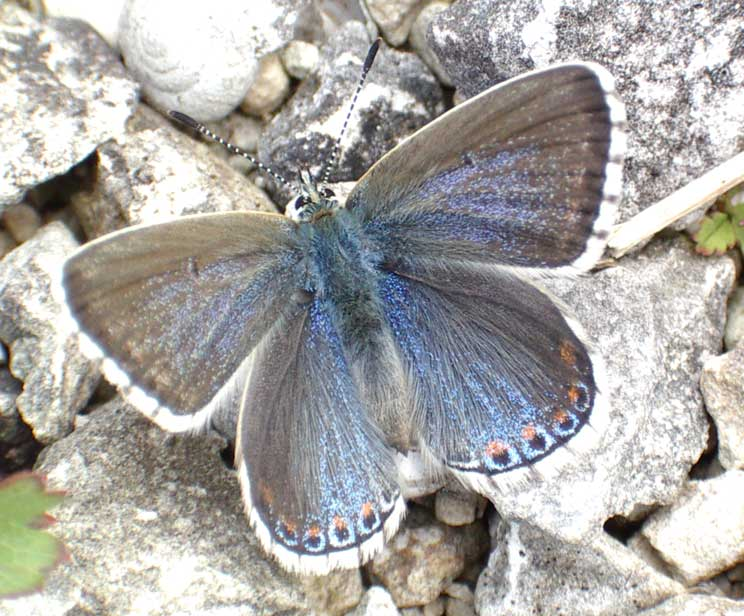 Adonis Blue female, but atypical colours