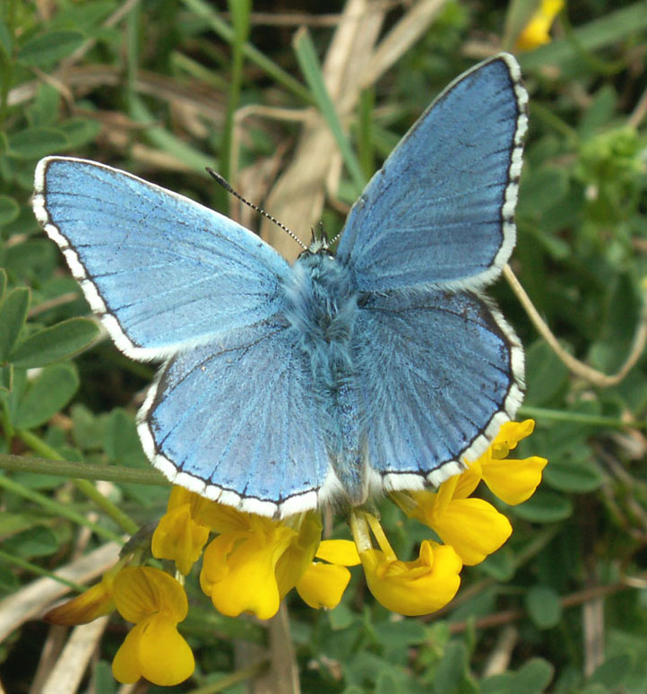 Male Adonis Blue Butterfly