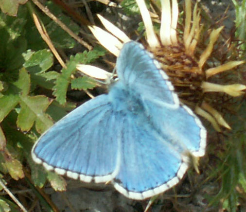 Adonis Blue (click links to pictures of four species of blue butterflies)