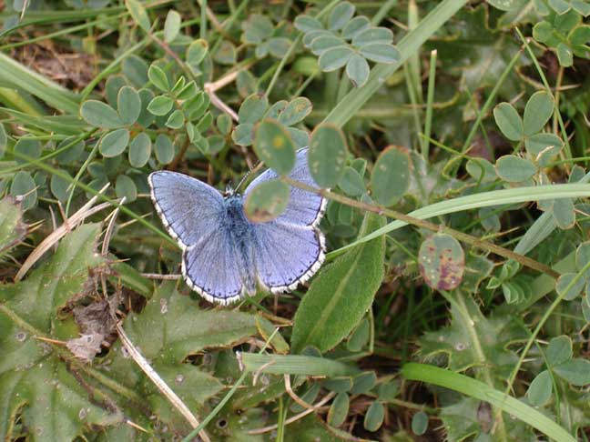 Adonis Blue Butterfly (Photograph by Andy Horton)