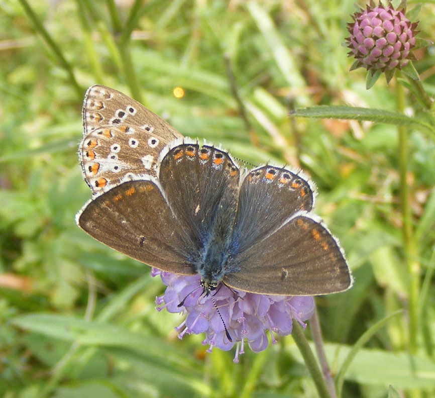 Adonis Blues on Devil's Bit Scabious