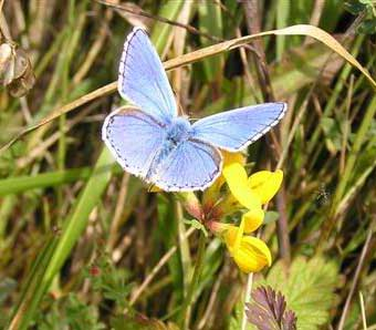 Male Adonis Blue (Photograph by Brenda Collins from Lancing Ring meadows)