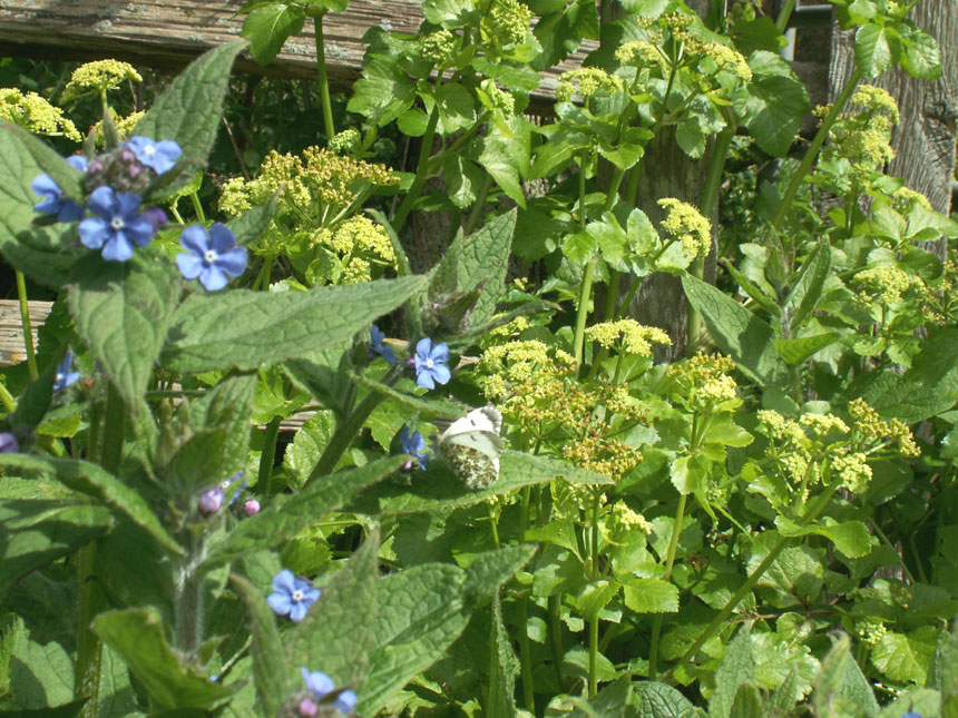 Green Alkanet and Alexanders on the verges of the Waterworks Road, Old Shoreham