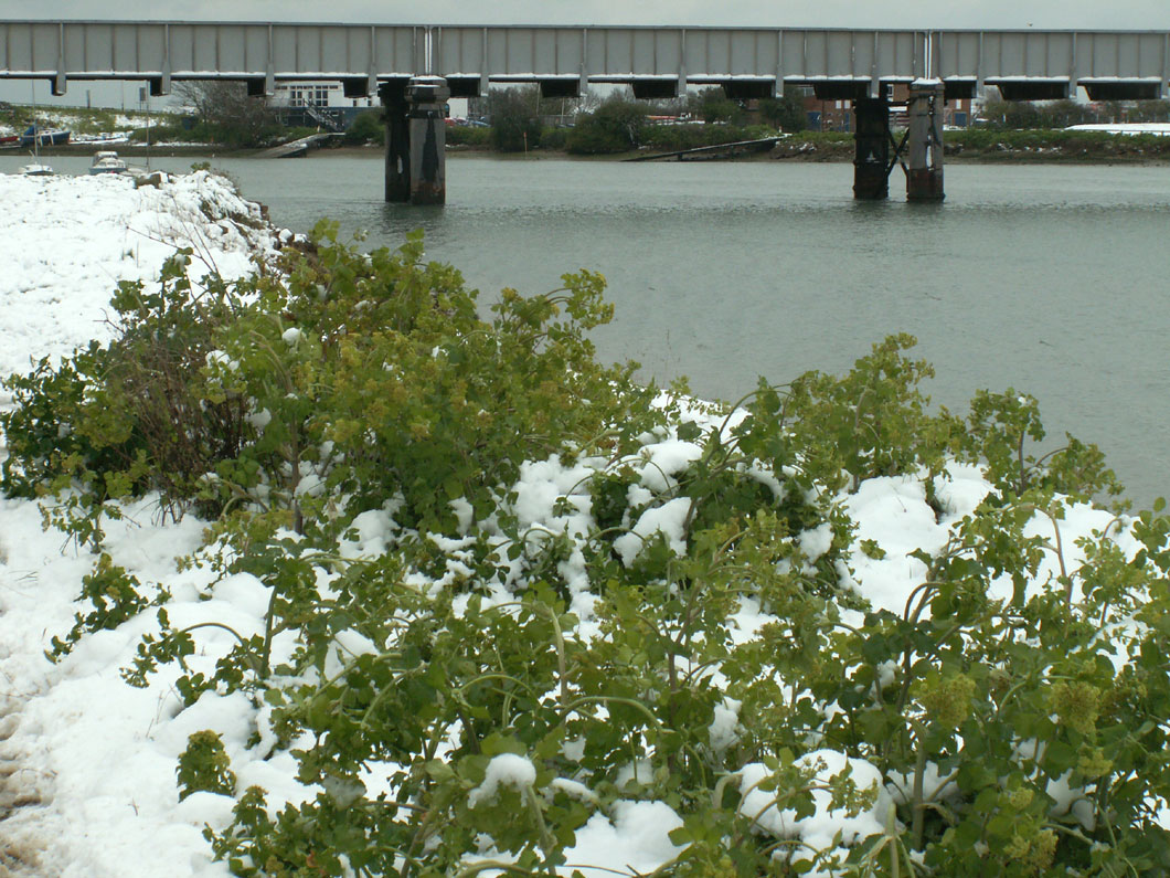 Alexanders covered in snow on the Adur riverbank