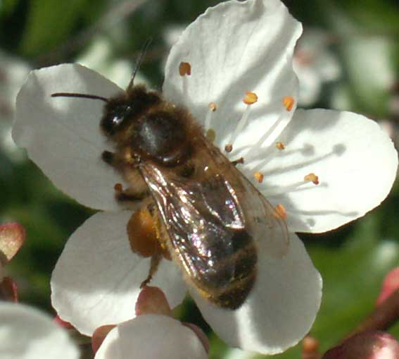 Andrena  (too poor an image to ascertain the species of bee)