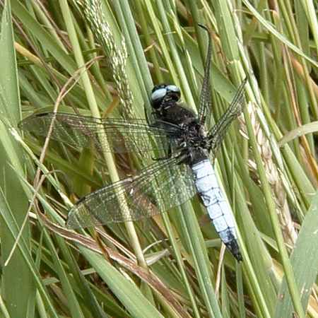 Broad-bodied Chaser (Photograph by Allen Pollard)