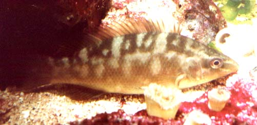 Wrasse found in British seas Ballan3