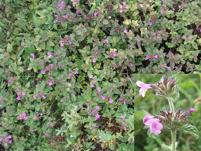 Wild Basil was a large purple patch at the north end of the lower slopes