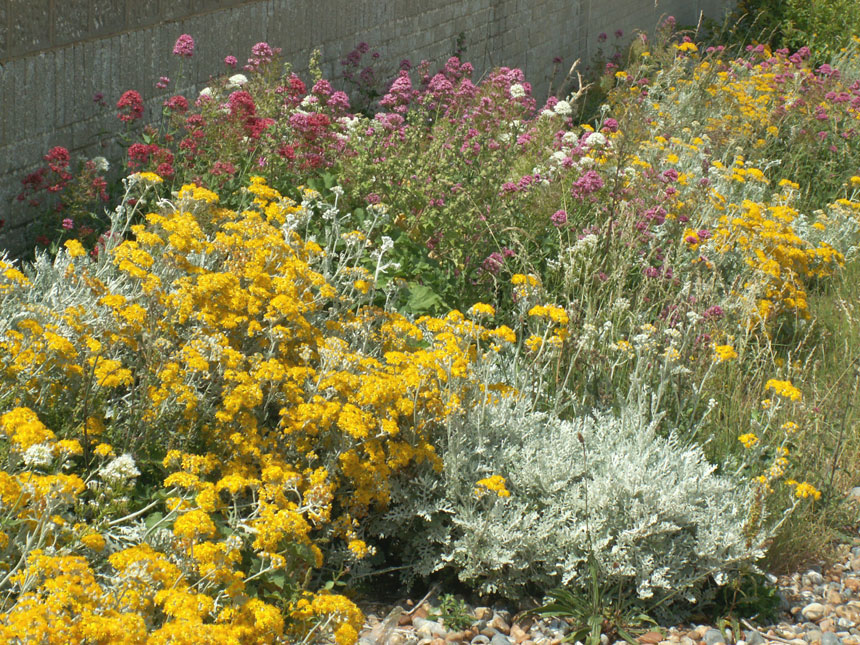 Silver Ragwort and Red Valerian