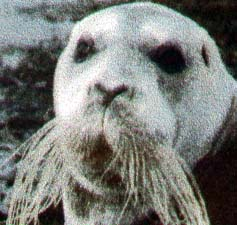 Bearded Seal from 1956