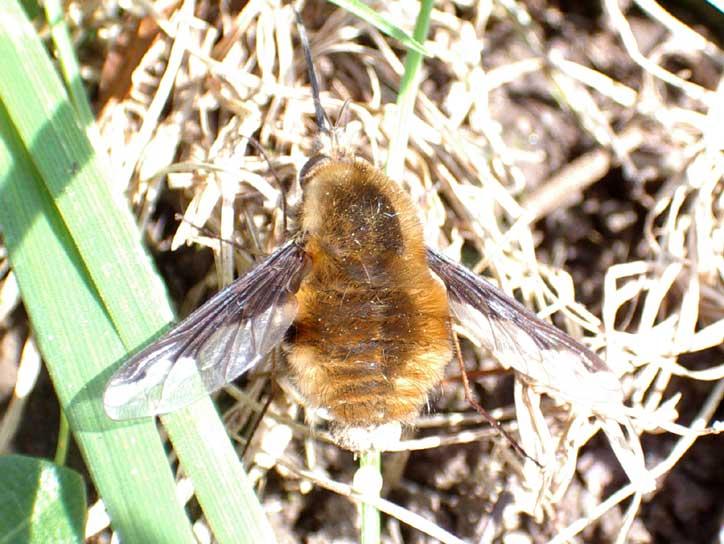 www.glaucus.org.uk/Bee-Fly098.jpg