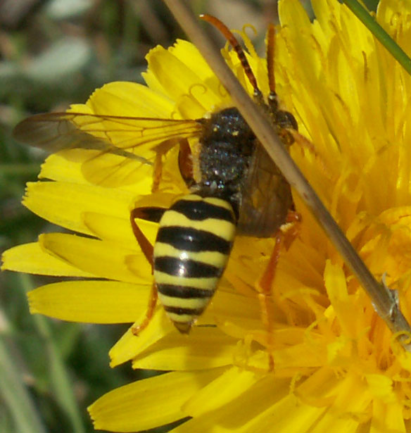 Nomada goodeniana: small bee