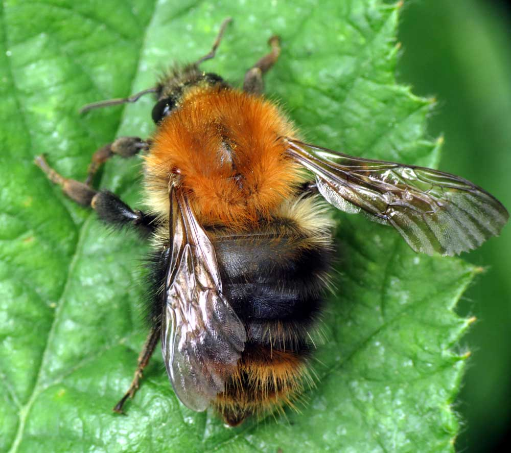 Bumble Bees uk 31 May 2012