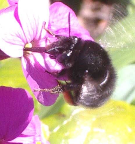 The female is sticking her tongue into a garden Hydranga