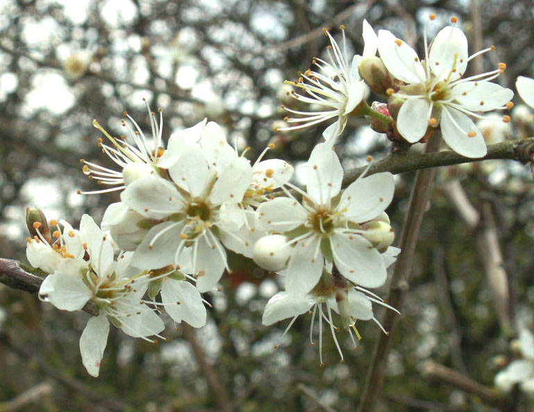 Blackthorn flowers in April