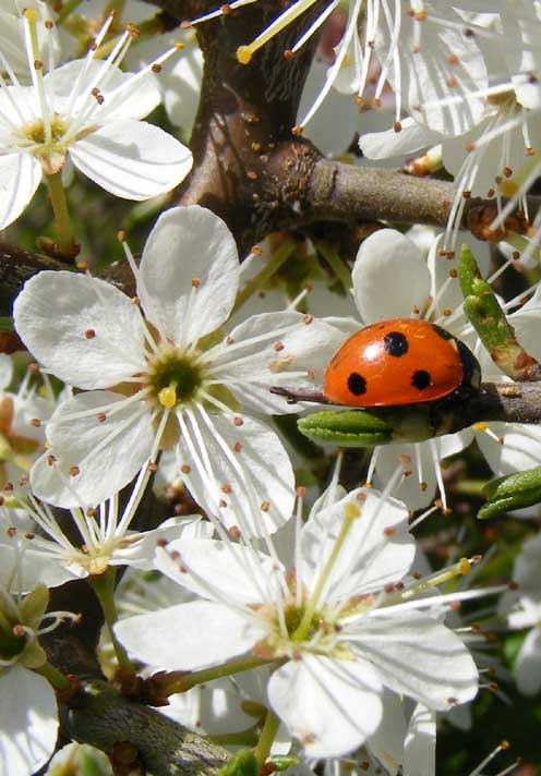 7-spotted Ladybird on Blackthorn
