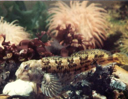 Blenny (small rock pool fish) Photograph by Andy Horton