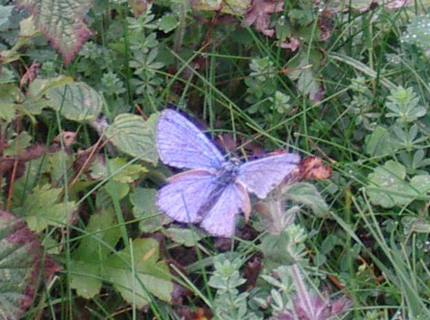 A probable Adonis Blue (it appears like other confirmed Adonis Blues)