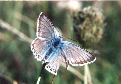 Battered male Chalkhill Blue (Photograph by Andy Horton)