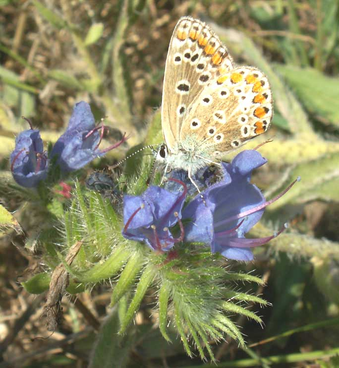 Common Blue on Viper's Bugloss