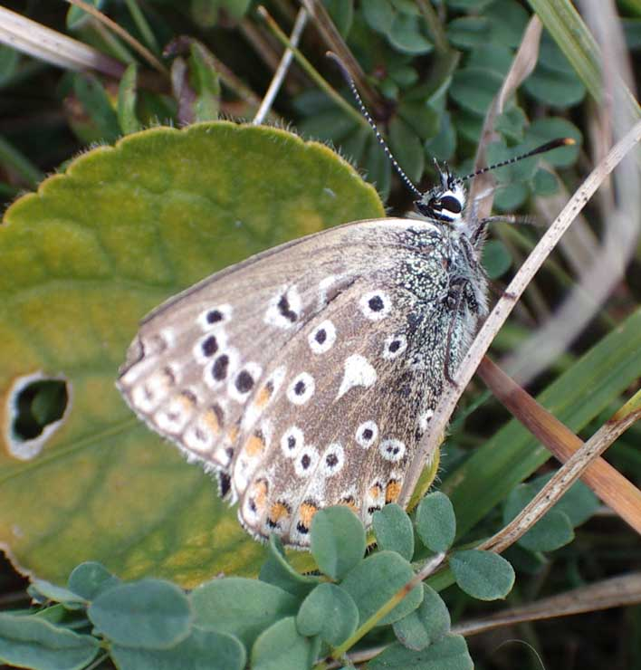 Adonis Blue or Chalkhill Blue?