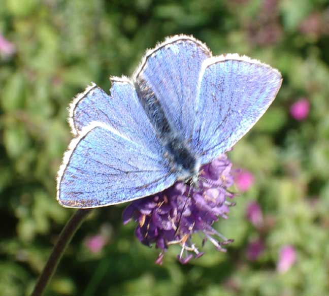 Although looking ostensibly like a Common Blue, this is an Adonis Blue. Click on the image for more photographs