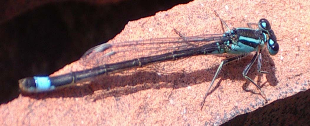Blue-tailed Damselfly (Photograph by Andy Horton)