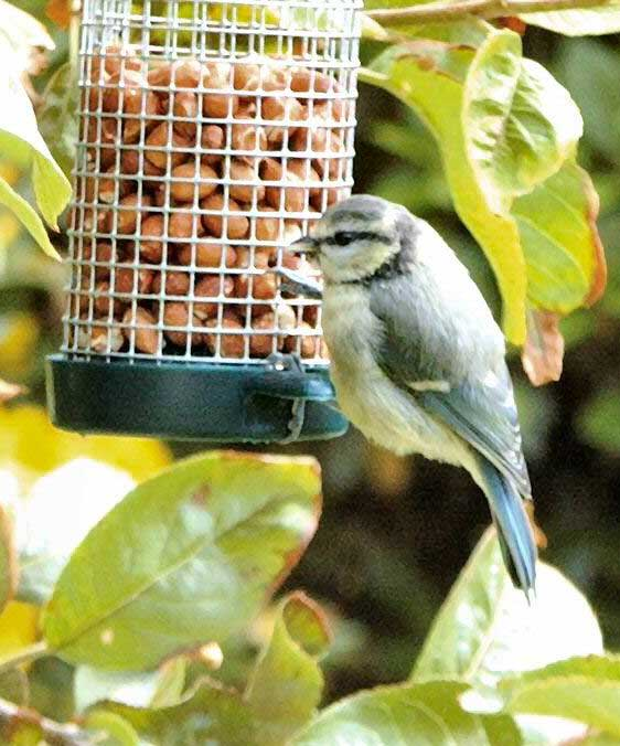 Blue Tit (Photograph by Peter Baxter)