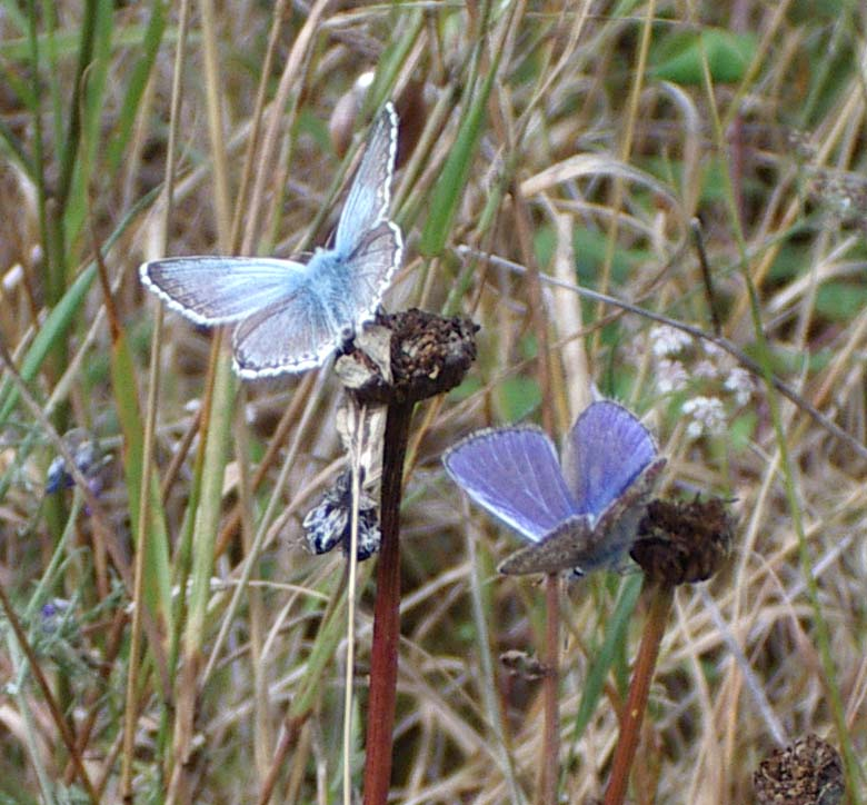 Chalkhill and Common Blue Butterflies (Photograph by Andy Horton)