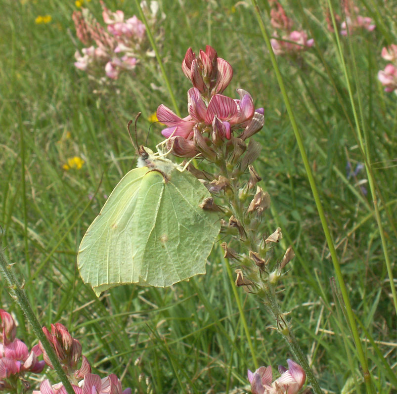 The female Brimstone Butterfly flitted rapidly from one Sainfoin flower to another