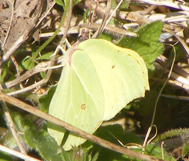 Brimstone Butterfly on the verges of the Waterworks Road