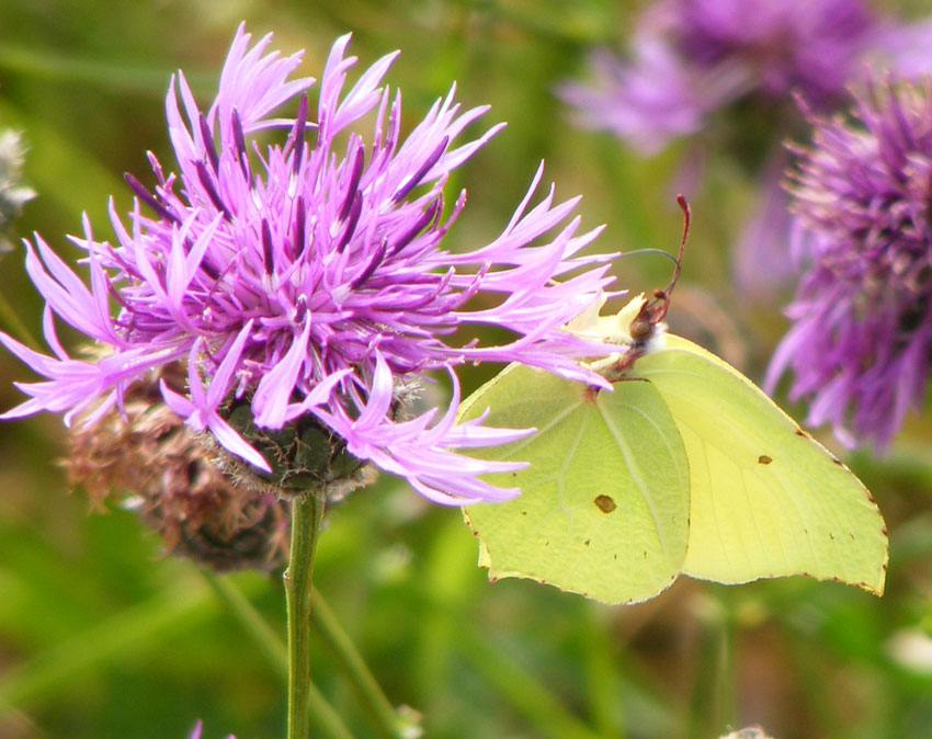 Brimstone Butterfly on Greater Knapweed