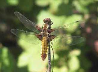 Female Broad-bodied Chaser (Photograph by Allen Pollard)