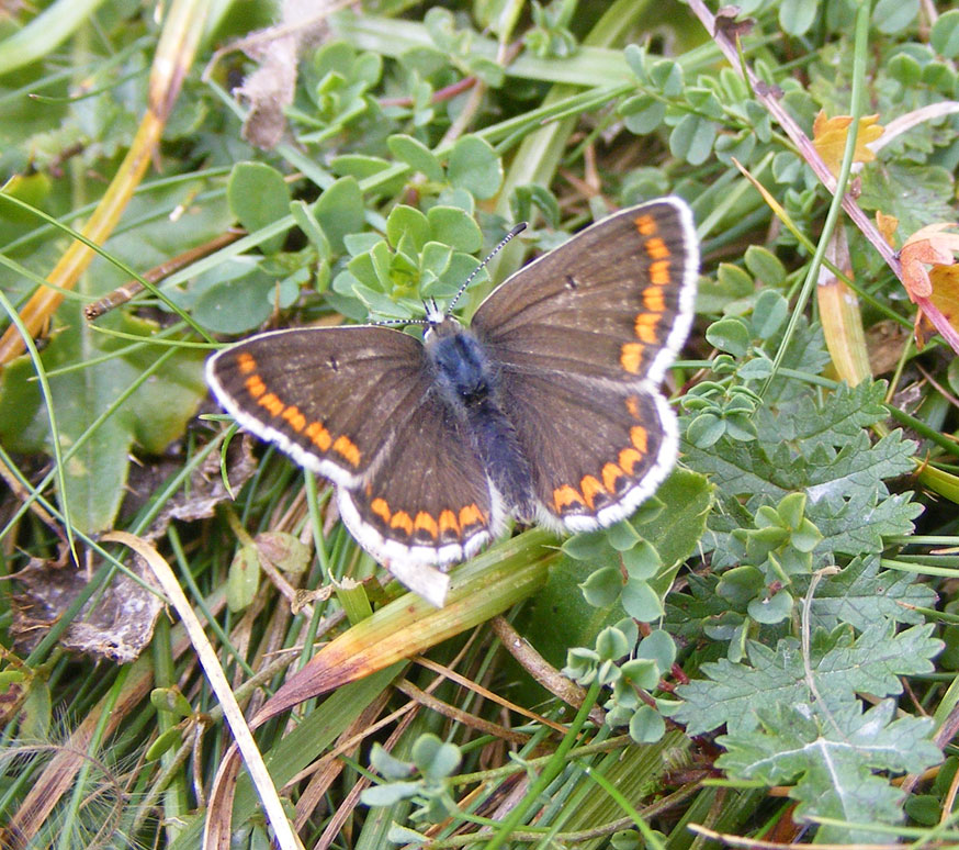 Brown Argus on Mill Hill