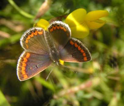 Brown Argus or feamale Common Blue? (Photograph by Brenda Collins)