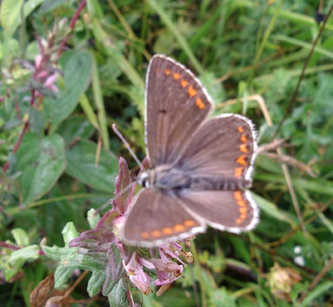 Brown Argus from Lancing Ring meadows