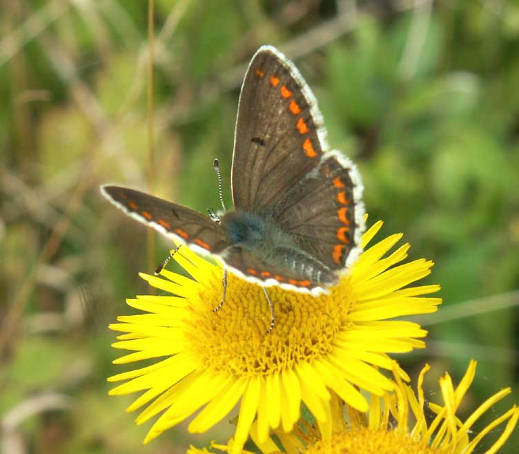 Brown Argus on Fleabane